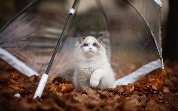 природа, листья, кот, мордочка, кошка, взгляд, осень, котенок, зонт, животное, рэгдолл