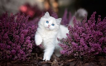 flowers, nature, leaves, cat, the bushes, animal, ragdoll