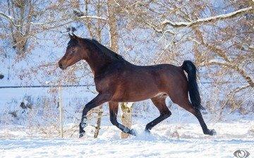 лошадь, снег, зима, конь, скакун, грация