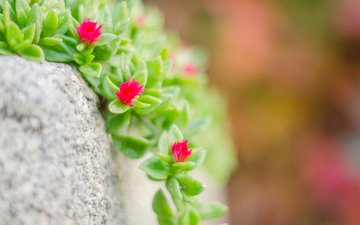 макро, камень, растение, цветочки, очиток