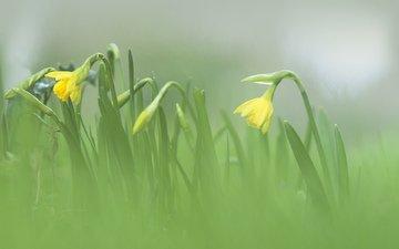 flowers, blur, spring, daffodils