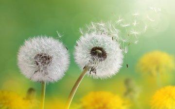 flowers, macro, seeds, dandelions, fluff, fuzzes, blade