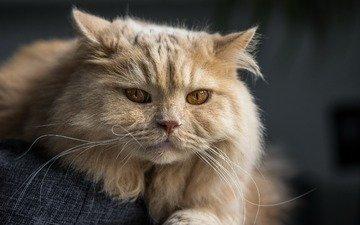 cat, muzzle, look, british longhair cat, british longhair