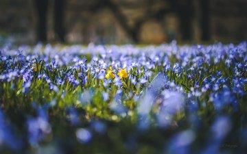 flowers, glade, spring, daffodils, scilla