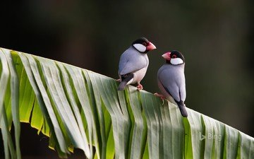 birds, beak, feathers, panache, java sparrow, the java sparrow, amadina, finches