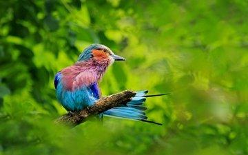 ветка, зелень, птица, сизоворонка, ракша, сиреневогрудая сизоворонка