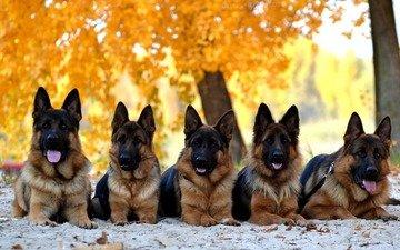 leaves, autumn, dogs, german shepherd
