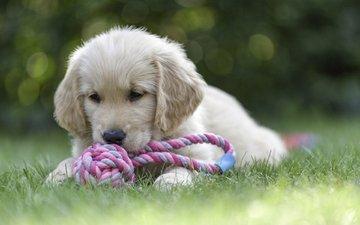 собака, игрушка, щенок, золотистый ретривер, голден ретривер, william