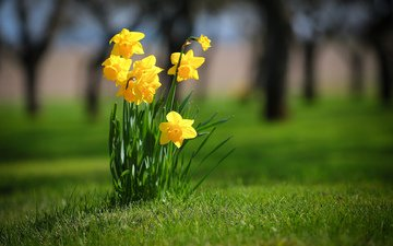 flowers, grass, spring, daffodils