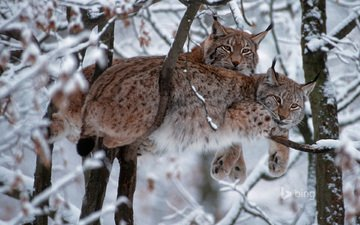 trees, snow, forest, winter, lynx, branches, predator, big cat, bing