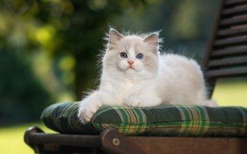 кот, кошка, котенок, голубоглазый, рэгдолл