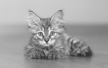 cat, look, black and white, kitty, maine coon