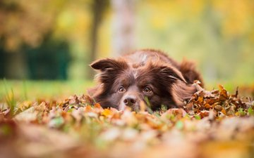 leaves, muzzle, look, autumn, dog, nova scotia duck tolling retriever