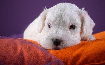 dog, puppy, the west highland white terrier