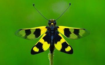 макро, насекомое, бабочка, крылья, ozturk mustafa