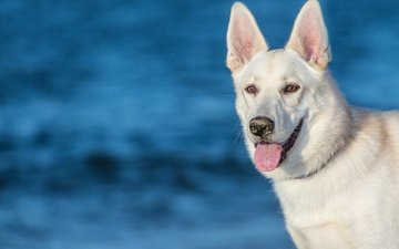 face, dog, language, the white swiss shepherd dog