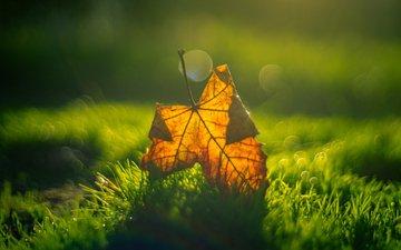 grass, macro, autumn, sheet