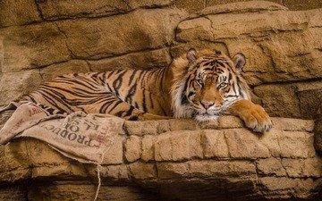 тигр, взгляд, хищник, большая кошка, зоопарк