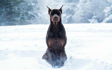 snow, winter, animals, dog, doberman