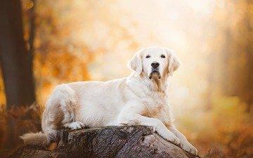 мордочка, взгляд, собака, лабрадор, золотистый ретривер, голден ретривер