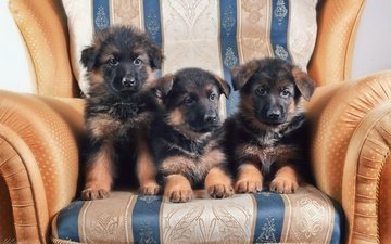 кресло, щенки, собаки, немецкая овчарка