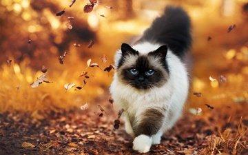 leaves, cat, autumn, burma