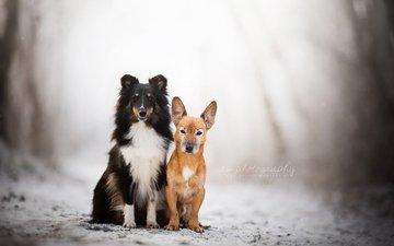 природа, зима, взгляд, друзья, собаки, шелти, dackelpup