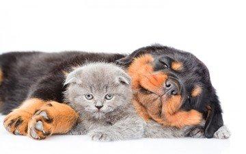кот, кошка, котенок, собака, щенок, ротвейлер