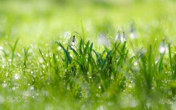 цветы, трава, капли, весна, подснежники, kimber leigh