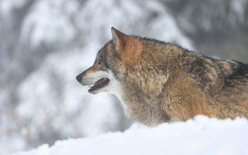 морда, снег, зима, взгляд, хищник, профиль, волк