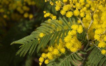 цветы, листья, весна, мимоза, акация серебристая