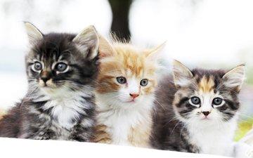 глаза, фон, мордочка, усы, кошка, взгляд, коты, кошки, котята