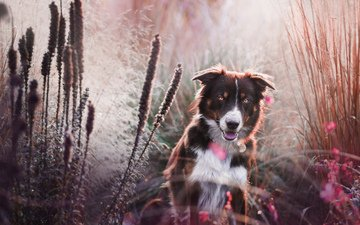 flowers, grass, muzzle, look, dog, the border collie
