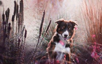 цветы, трава, мордочка, взгляд, собака, бордер-колли