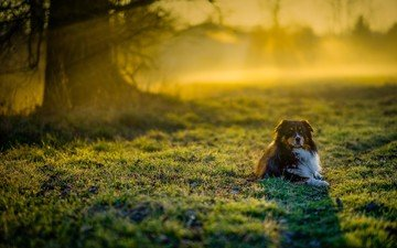 grass, muzzle, look, dog, australian shepherd, aussie