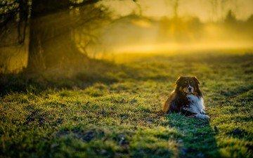 grass, muzzle, look, dog, australian shepherd, aussie