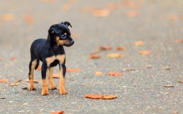 листья, мордочка, взгляд, осень, собака, щенок, пинчер