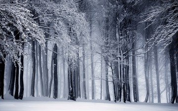 trees, snow, nature, forest, winter, trunks, black and white