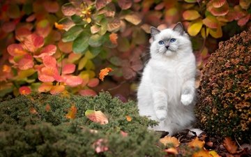 leaves, pose, cat, autumn, kitty, siamese, foot, blue-eyed, ragdoll