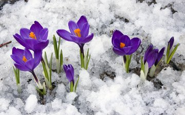 flowers, snow, spring, crocuses, primroses