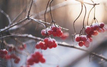 winter, branches, berries, rowan