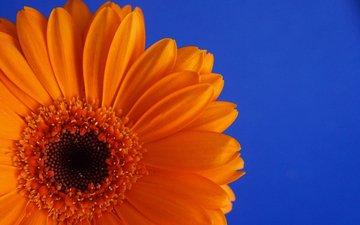 цветок, лепестки, календула, ноготки
