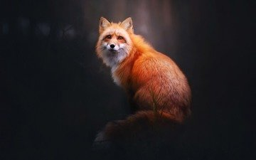 природа, лес, фон, взгляд, лиса, лисица