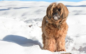 snow, winter, muzzle, look, dog, the tibetan terrier