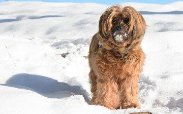 снег, зима, мордочка, взгляд, собака, тибетский терьер