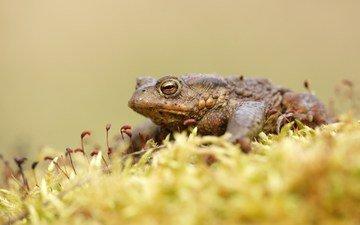 лягушка, мох, жаба, земноводные