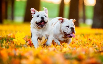 leaves, autumn, puppies, dogs, english bulldog
