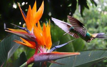 полет, цветок, крылья, птица, клюв, перья, колибри, стрелиция