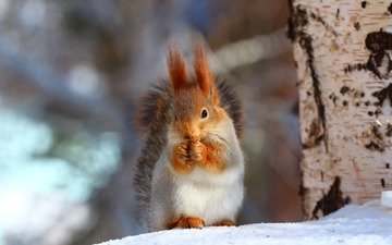 trees, snow, forest, winter, protein, tail, squirrel, rodent