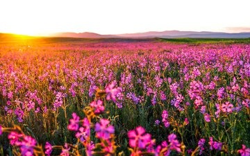 flowers, nature, morning, field, horizon, dawn